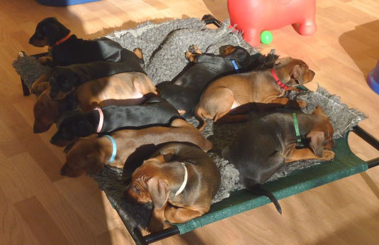 B-Wurf: Balou, Barney, Basco, Belmondo, Benito, Black-Jack, Baroness, Bella-Donna, Black-Bonita  (7 Wochen alt)