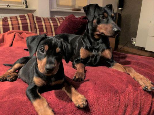 29.09.2019, Emil (Orion, 9 Wochen alt) und Lennox (3 jahre alt) vom Sylbachtal  ;-))