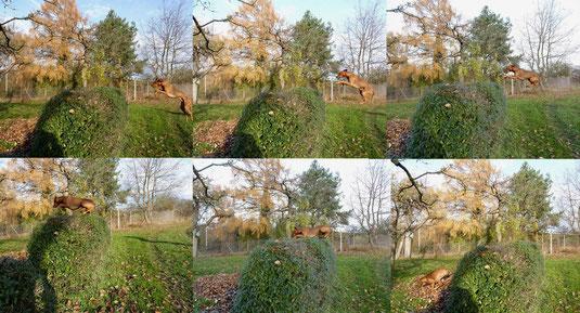 25.Nov. 2012, Springpferd oder was...?? So überwindet Sam eine Hecke ;-))) zum Vergrößern bitte anklicken