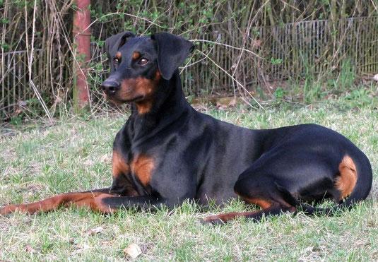 Diego (Dark-Devil vom Sylbachtal) 2 Jahre,7 Monate alt !! Eltern: Geeva und Choey