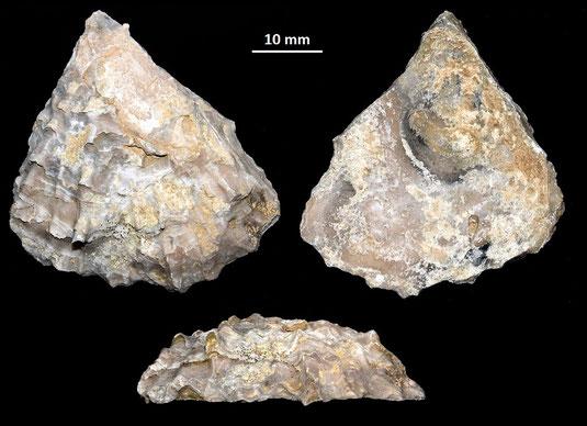 Ostrea edulis, Macchia della Turchina