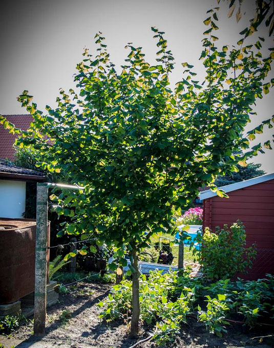 Durch konsequentes Zurückschneiden kann aus einem Haselnußstrauch auch ein Baum werden