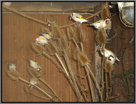 Stieglitze im Schwarm auf einer Kardendistel, Foto von Werner Kreikenbaum