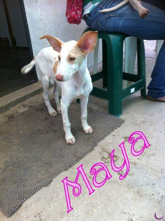 ADOPTEE Maya BB de Mamita Podenco Andaluz née le 6 février 2012