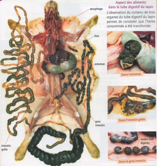 Dissection de l'appareil digestif et différents aspects du bol alimentaire dans les organes digestifs