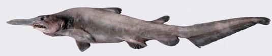 Requin lutin. Sources: wikipédia.