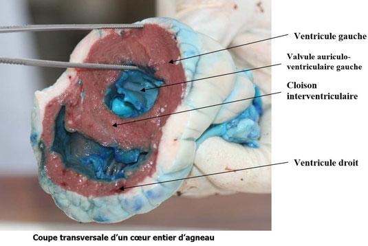 Coupe transversale du cœur d'agneau. La couleur bleue indique où circule le sang. Source : ??
