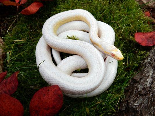 Snow Tessera motley~striped Kornnatter