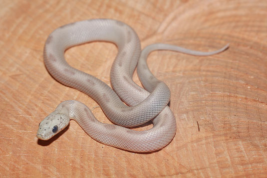 0.1 Ghost Sunkissed Striped ph. Caramel
