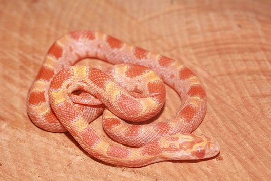 0.1 Auratum Sunkissed het Lava Caramel ph. Striped Enz.