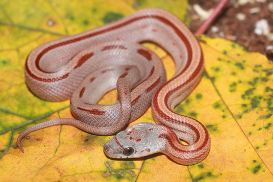 0.1 Bloodred Striped ph. Sunkissed