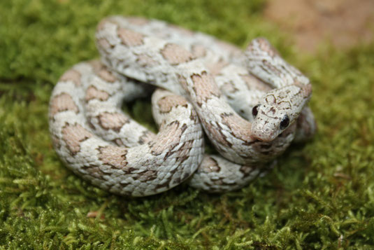 Hypo Cinder het Sunkissed Striped von 2015