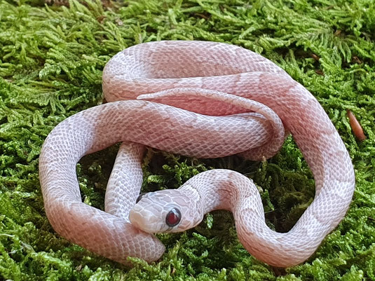 1.0 Hypo Pewter Sunkissed ph.Striped