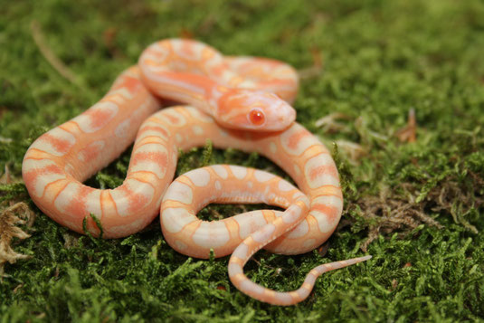 1.0 Amel Scaleless Motley