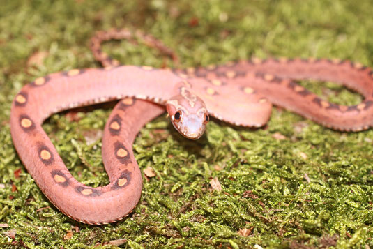 0.1 Bloodred Motley Scaleless ph. Butter