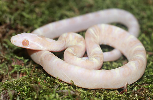 0.1 Butter Scaleless