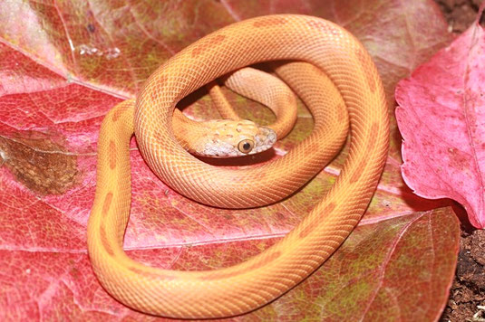 0.1 Hypo Toffee Sunkissed Striped