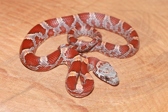 0.1 Hypo Bloodred Sunkissed , Enz.