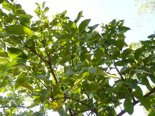 レモンの木を見上げる