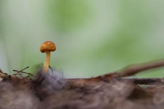 雨後にあらわれる小さなキノコ