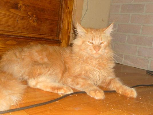 мейн кун  кот возраст 6 месяцев