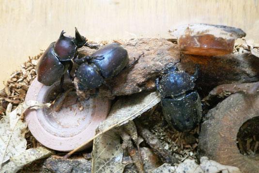 生き物の観察活動を行うために、京都の産安部でカブトムシをクワガタムシを確保しました。