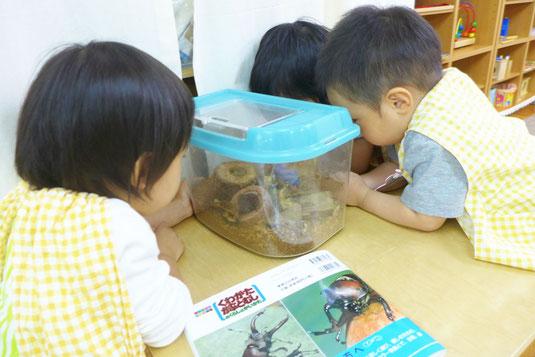 フィオーレコースに通う2歳児がカブトムシも観察活動を夢中でしています。