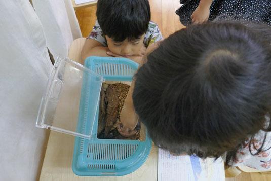 幼稚園児が生き物の観察活動で一生懸命にカブトムシを観察しています。