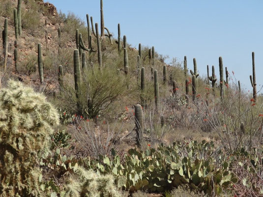 Saguaro West National Park