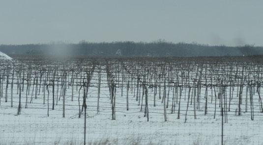 Winterliche Weinberge