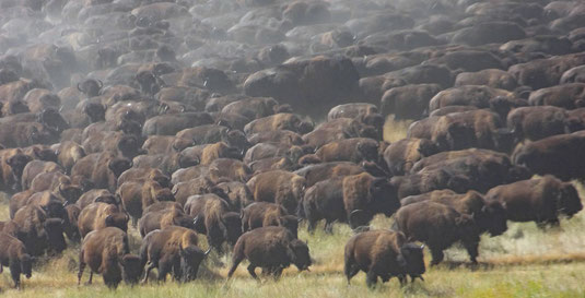 Buffalo Roundup im Custer State Park, 25. September