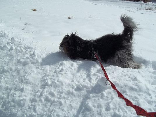 Maulwurfsuche im Schnee