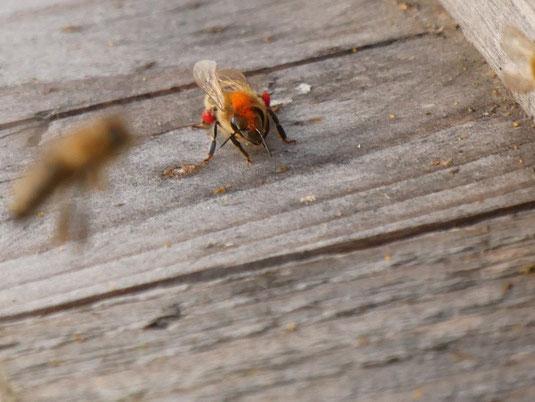 Weihnachtsmannbiene (gesehen und fotografiert von Britt Rosenplänter im Dezember 2015)