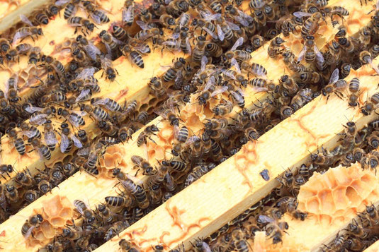 Blick von oben in den Bienenstock auf die Waben und in die Wabengassen. Die Luft darin ist angereichert mit gesundheitsfördernden Flavonoiden und ätherischen Ölen.