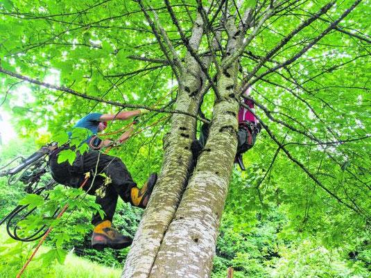 Neben den Spürhundeteams stehen auch speziell ausgebildete Baumpfleger im Einsatz. Bild Aldo Ellena