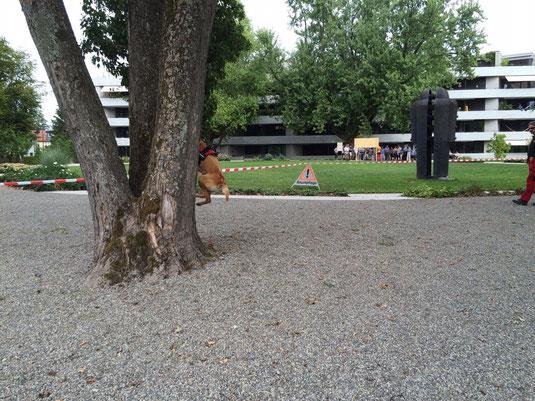 Oetztallabrador Anna Grace Kletter Spürhund im Einsatz....(Foto: Mirella Manser)