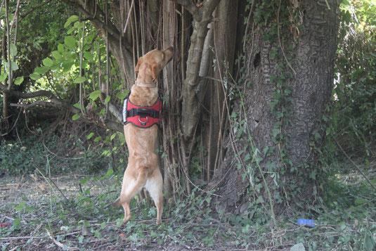 ALB-Spürhunde auf der Suche nach dem Asiatischen Laubholzbockkäfer