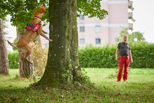 Asiatischer Laubholzbockkäfer Spürhund; Tarlo asiatico; Capricorne asiatique;