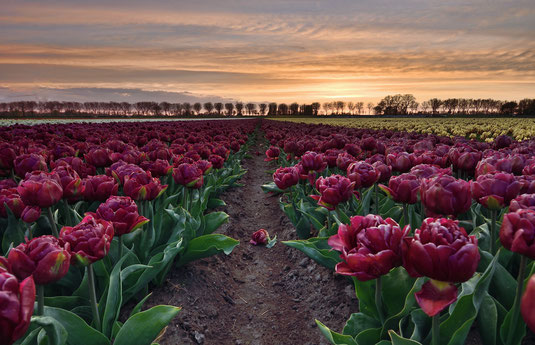 652. Rode dubbele tulpen bij zonsondergang (3836-4072)