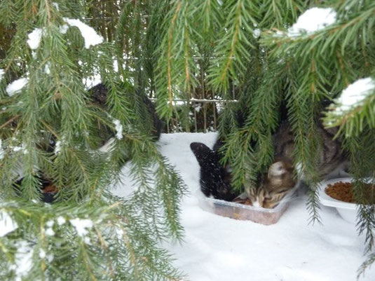 Fütterung von Wildkatzen im Schnee