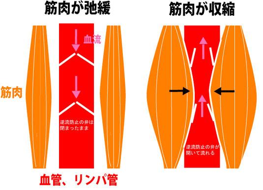 筋肉の弛緩、収縮でポンプの役割をしております。