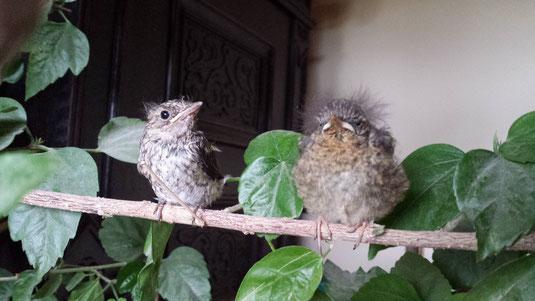 Fliegenschnäpper und Rotkehlchen mit ehemals gebrochenen Beinchen