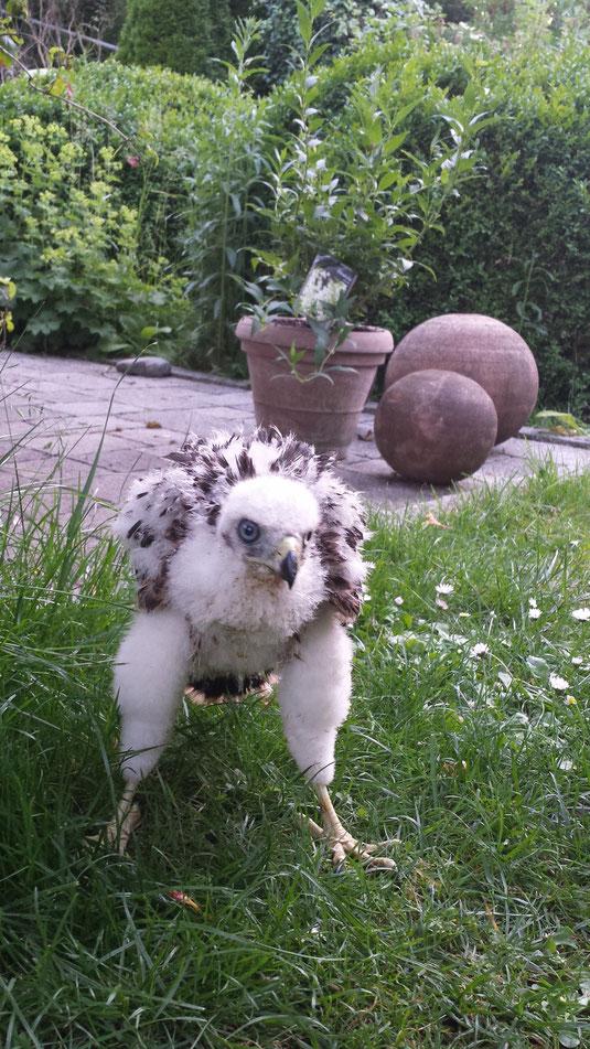 junger Rotmilan nach Intensivphase erstmals im Garten beim atzen