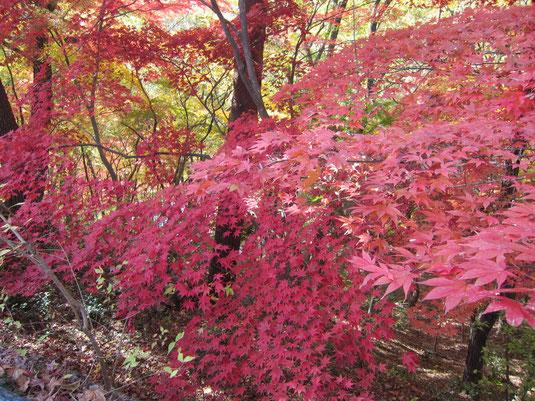 秋の神戸市立森林植物園の紅葉(もみじ狩り)