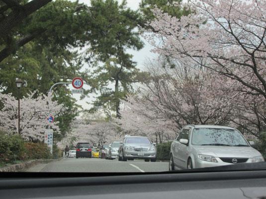 夙川の桜の写真①
