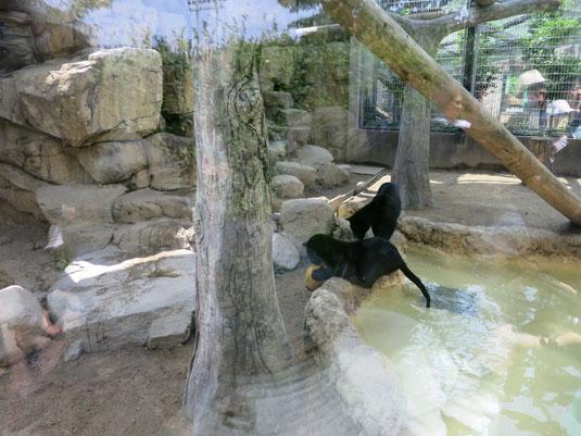 王子動物園の赤ちゃんヒョウの兄弟が池でボール遊びをする写真1