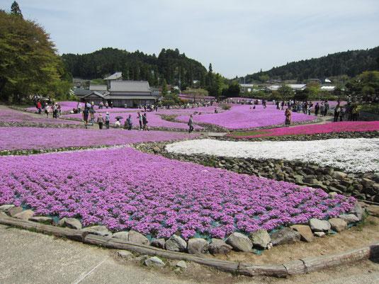 芝桜園 花のじゅうたん in三田 の写真