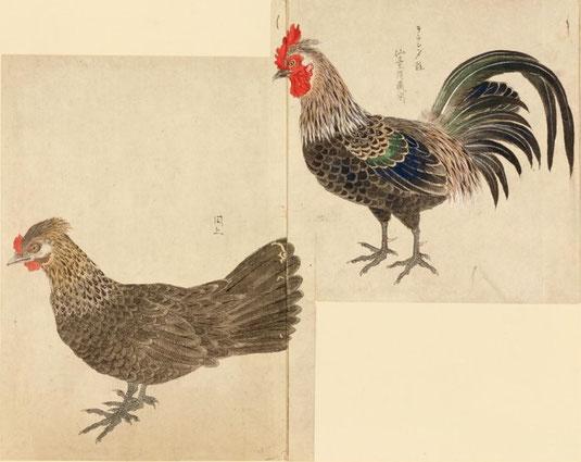 オランダ鶏 禽譜 宮城県図書館所蔵