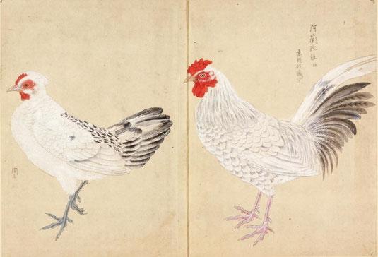 阿蘭陀鶏 禽譜 宮城県図書館所蔵