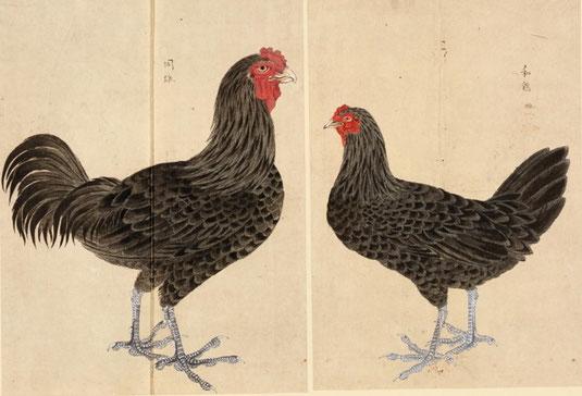 和鶏 禽譜 宮城県図書館所蔵